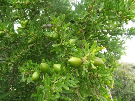 Unripened Argan Fruit