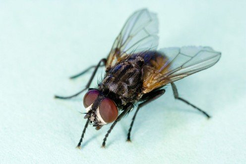 Housefly about to start assault on some food left out by forgetful humans