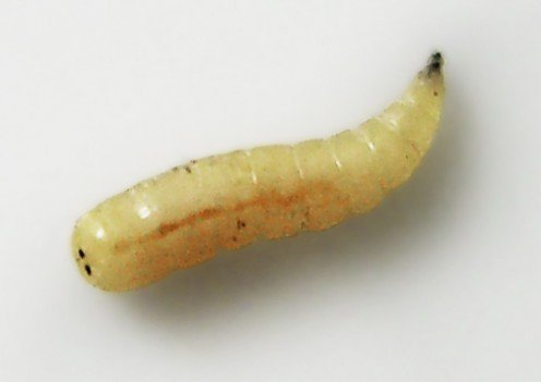 Musca domestica larva This was for those who love the Latin language
