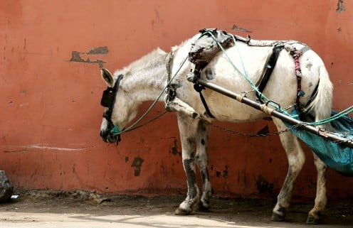 The mule was the most important piece of equipment (as it were) to the early southern farmer before the tractor came along,. But mules were used to describe a person's stubborn attitude or just plain slow nature