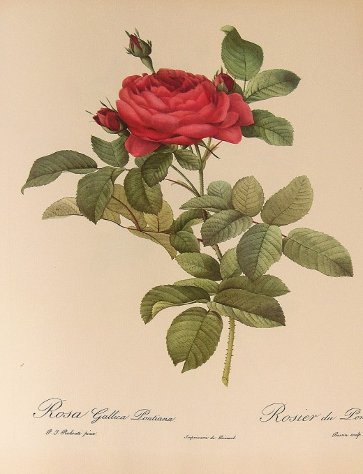 """Rosa gallica Pontiana"", watercolor by Pierre-Joseph Redouté (1759-1840)"