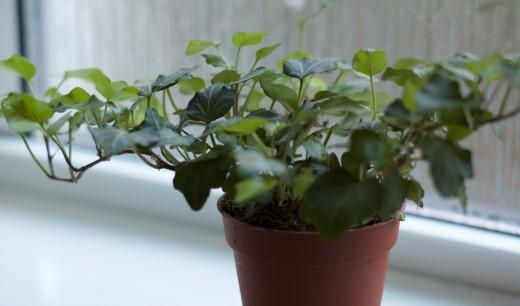 My ivy