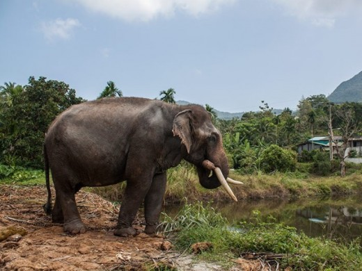 Elephant safari enjoys popularity on the island