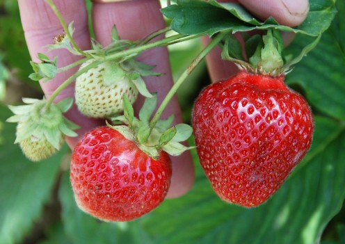 Ripe strawberries and unripe green ones grow on the same branch.