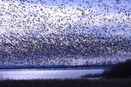 A flock of snow geese take flight at Freezeout Lake, in Montana
