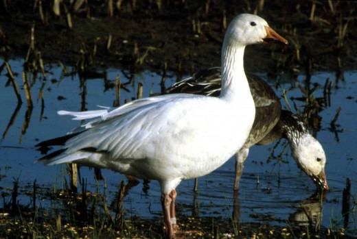 An adult snow goose in white plumage