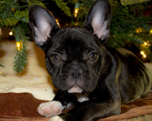 This French Bulldog is hanging out under the Christmas tree