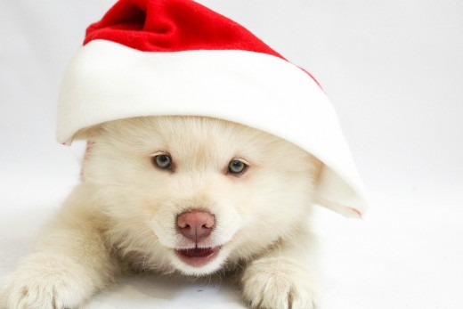 This pup looks a bit like a Polar Bear in her red and white Santa hat