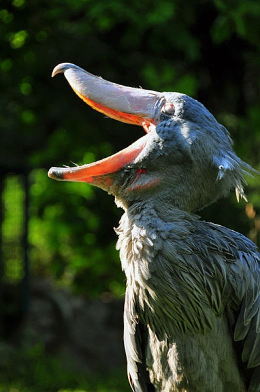 Yawning Shoebill (Balaeniceps rex) at Weltvogelpark Walsrode (Walsrode Bird Park, Germany)