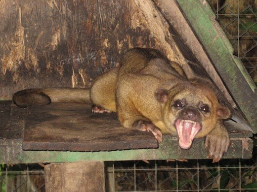 a yawning Kinkajou at a shelter for wounded and abused animals near Sámara, Costa Rica