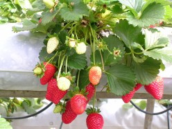 A Guide to Growing Strawberries