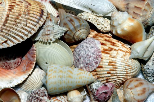 Seashells washed ashore come in many different colors and shapes.