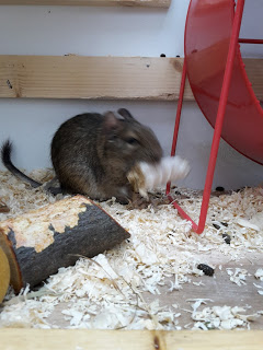 Christmas treat, Hay and puffed rice stick, eagerly devoured