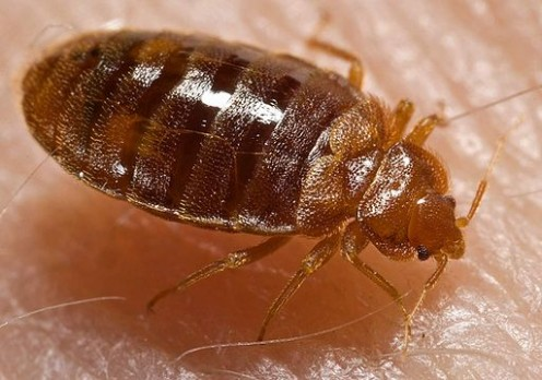 Greatly magnified image; Bedbugs can be hard to spot, as they are very tiny