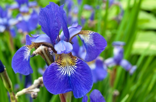 I remember when I asked my mom why she gave me the name of Iris.  She started to tell me all about the irises.  They were so unique and colorful.  It was as if my mom knew who I was already before I even was WHO I was.