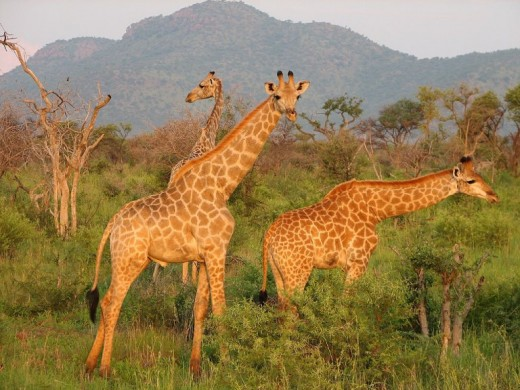 Madikwe, North West, South Africa