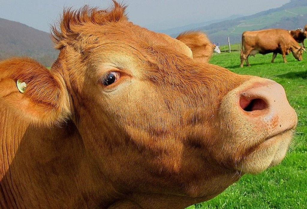 I'm Having A Cow!