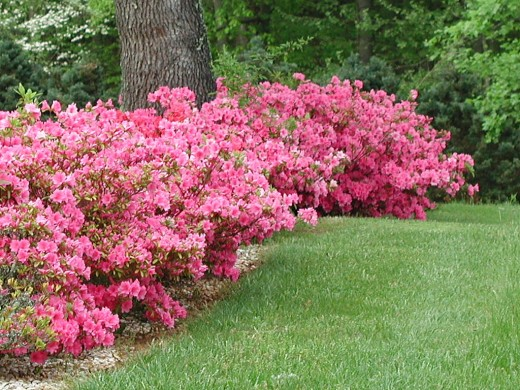 A hedge of azaleas.