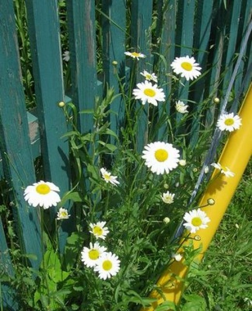 growing wild along fence, Bob Ewing photo