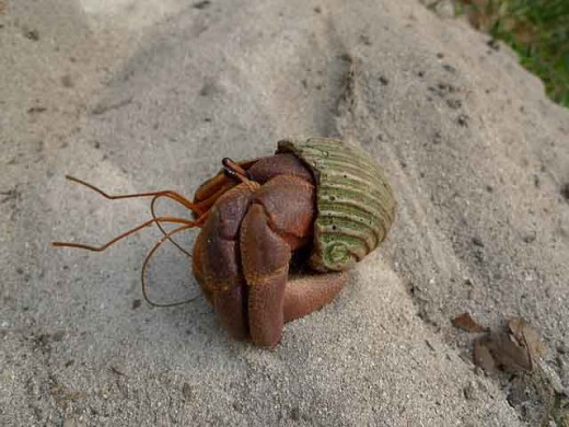 A hermit crab escaping from its shell.