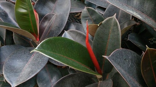 Ficus elastica 'Robusta' (Indian Rubber Tree) can help clean indoor air.
