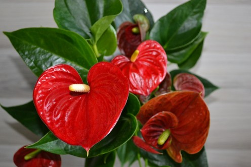 Flamingo flower houseplants are attractive and help purify the air.