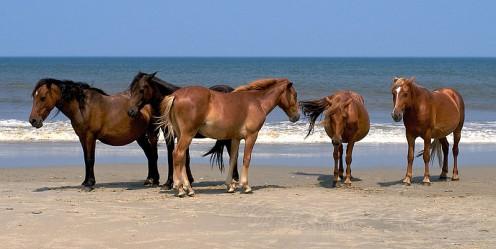 Spanish Mustangs.