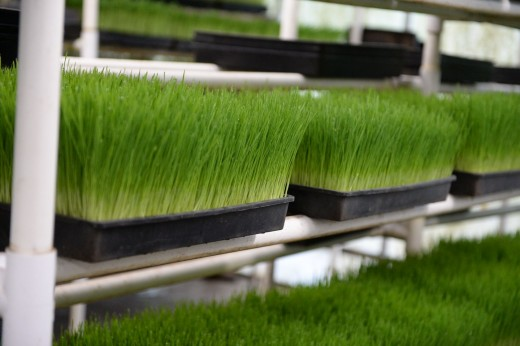 Wheatgrass ready to be juiced.