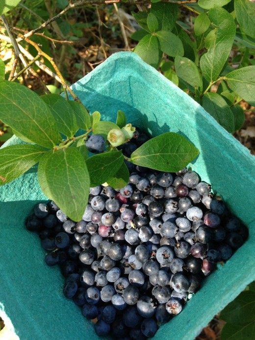 Fresh picked, wild blueberries