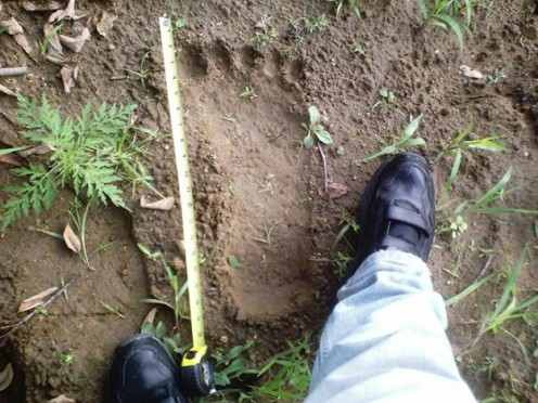 Actual footprint found by a professional tracker who was searching for Bigfoot.