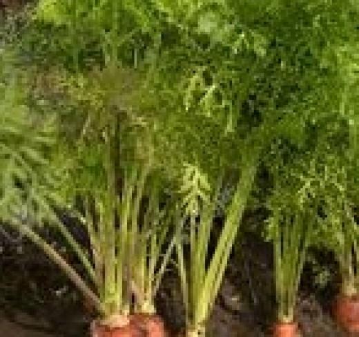 Carrot farms