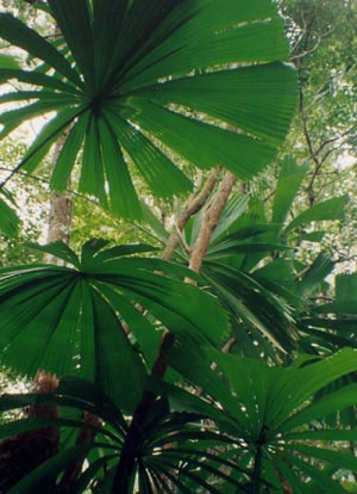 The fan palms at Cape York