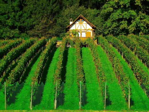 Grape Vine in Backyard of House.