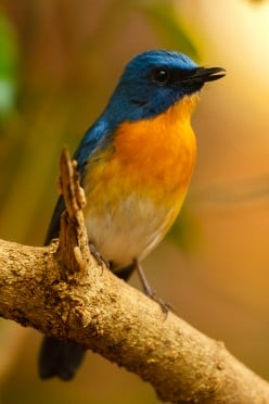 Photoshoot of a Tickell's Blue Flycatcher