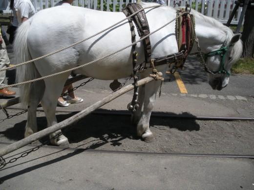 "Hokkaido Pony""Dosanko"" (Japan Hokkaido native horse)"