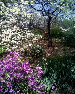 Dogwood, Brooklyn Botanic Garden / E. A. Wright 2009