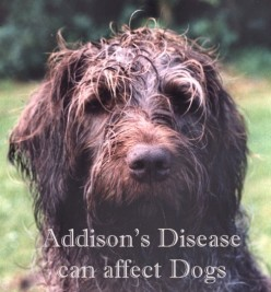 Addison's Disease Can Affect Dogs
