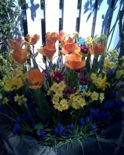 Tulips, Brooklyn Botanic Garden / E. A. Wright 2009