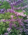 Blossoms, Brooklyn Botanic Garden / E. A. Wright 2009