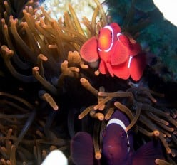 A Pair in their anemone. The darker, bigger maroon clownfish is the female.