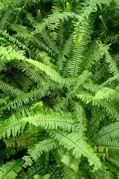 The ornamental fern Nephrolepis Exaltata Bostoniensis is a natural air humidifier.