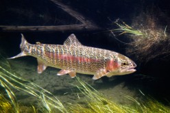 Rainbow Trout- Fish Biology & Scientific Facts