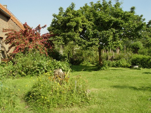 My own Medlar Tree