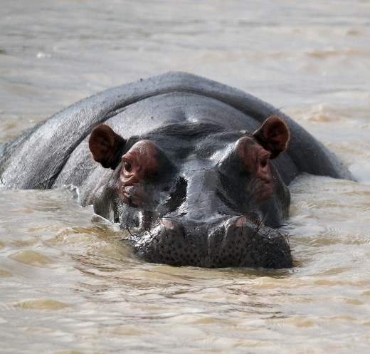 Hippos are cute yet are deemed to be the most dangerous animals in the world, due to their skittishness. They will attack when frightened. Photo: Di Robinson