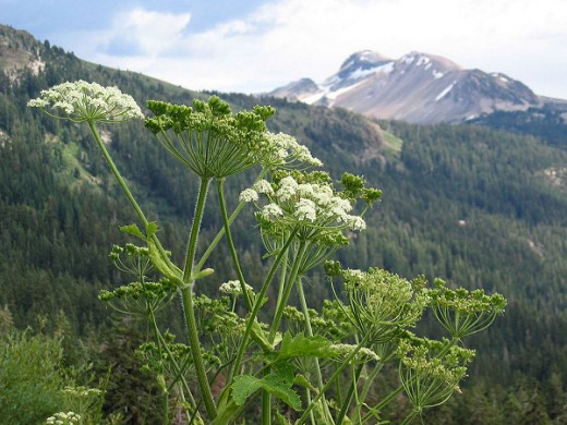 Heracleum Maximum or Cows Parsnips