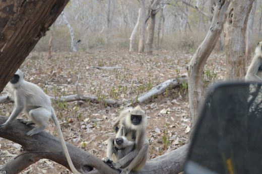 Indian Langur spotted by me at Bandipur National Park