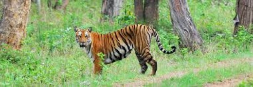 Tiger spotted in Bandipur National Park