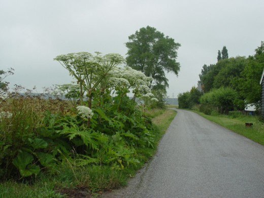 Giant Hogweed on my property