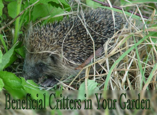 The Hedgehog is a beneficial critter