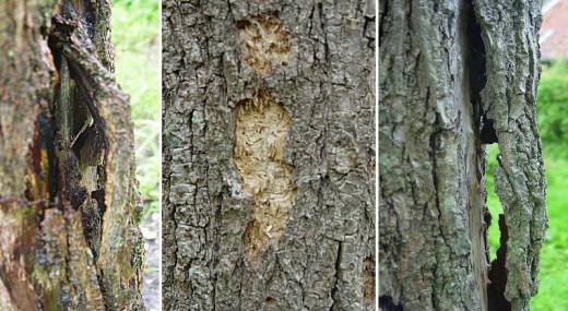 Food Source for Woodpeckers